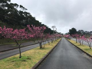 沖縄のさくら